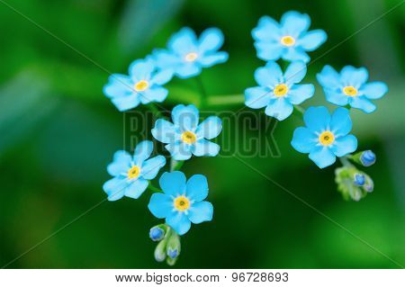 Nine Sky-blue Flowers Plants