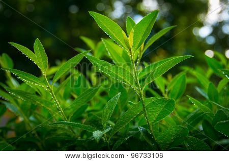 Sprouts of green tea on a summer morning at dawn poster