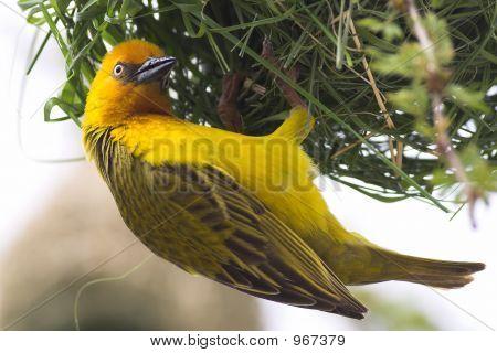Cape Weaver Male Weaving Nest