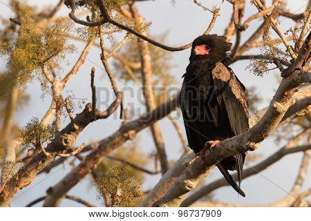 Bateleur Eagle (terathopius Ecaudatus) In Early Morning Light