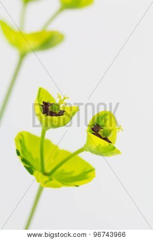 Spurge Flower Reproductive Parts