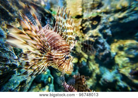 Lionfish Or Pterois Miles