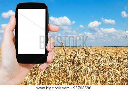 Tourist Photographs Wheat Field Under Blue Sky