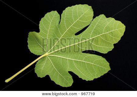 Fig Leaf On Black Bkgd