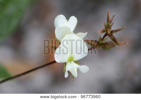 White flower on stem with leaves in Turkey Creek Park, Brevard County, Florida