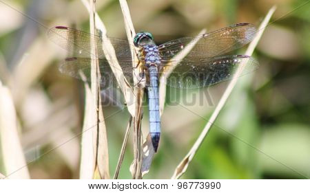 Blue dasher dragonfly on reeds at Lake Washington, Melbourne, Florida.