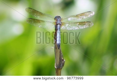 Blue dasher dragonfly on reed at Lake Washington, Melbourne, Florida
