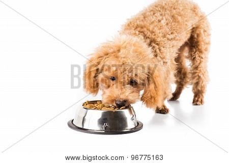 Skinny poodle puppy eating dried dog food from a bowl