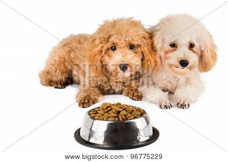 Two uninterested poodle puppies with a bowl of dried food