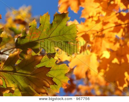 Fall Contrast -- Green And Gold Leaves