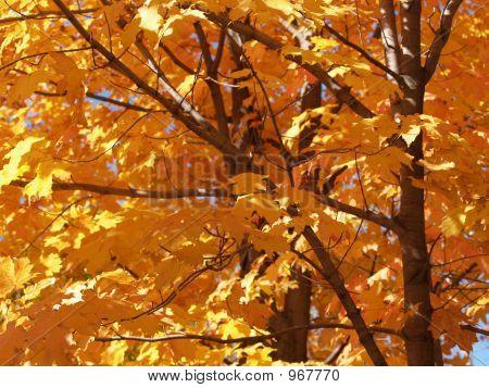 Golden Maple Trees