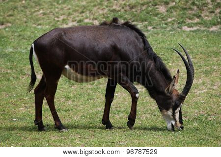 Sable antelope (Hippotragus niger), also known as the black antelope. Wildlife animal.