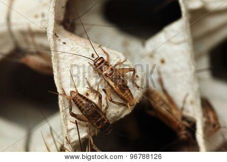 House cricket (Acheta domestica) on egg pack. Wild life animal.