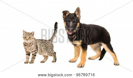 German Shepherd puppy and a cat Scottish Straight standing together