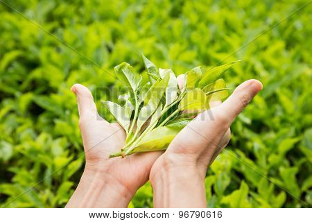 Presenting a handful of freshly harvested tea leafs rich in anti-oxidant