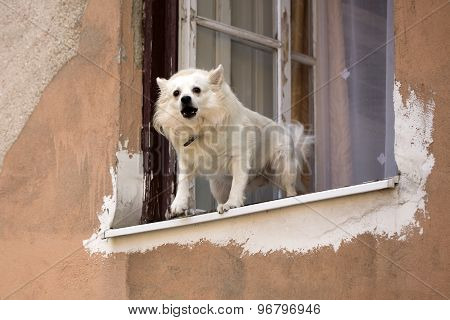 Small Dog Barking In Window