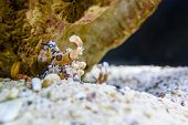 Harlequin shrimp or Hymenocera picta is a species of saltwater shrimp found at coral reefs in the tropical poster