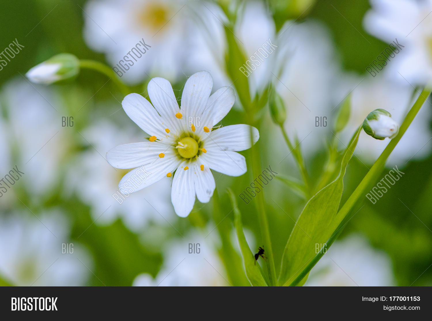 Forest Plant Stellate Image Photo Free Trial Bigstock