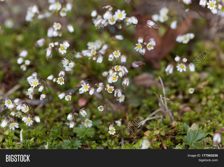 Flowers spring draba image photo free trial bigstock flowers of spring draba draba verna a small early spring flower mightylinksfo