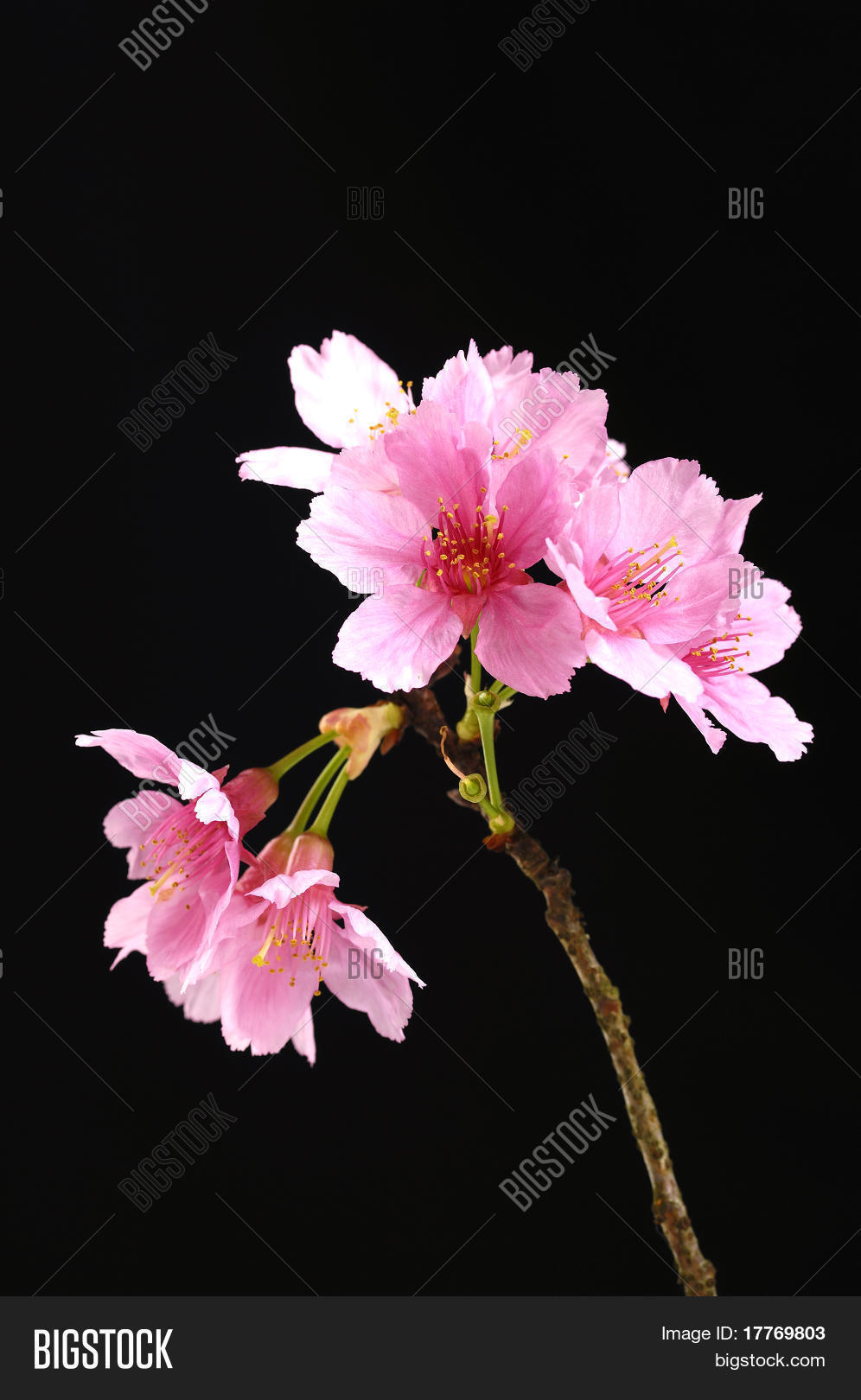 Beautiful flowers image photo free trial bigstock beautiful flowers blooming cherry on a black background izmirmasajfo