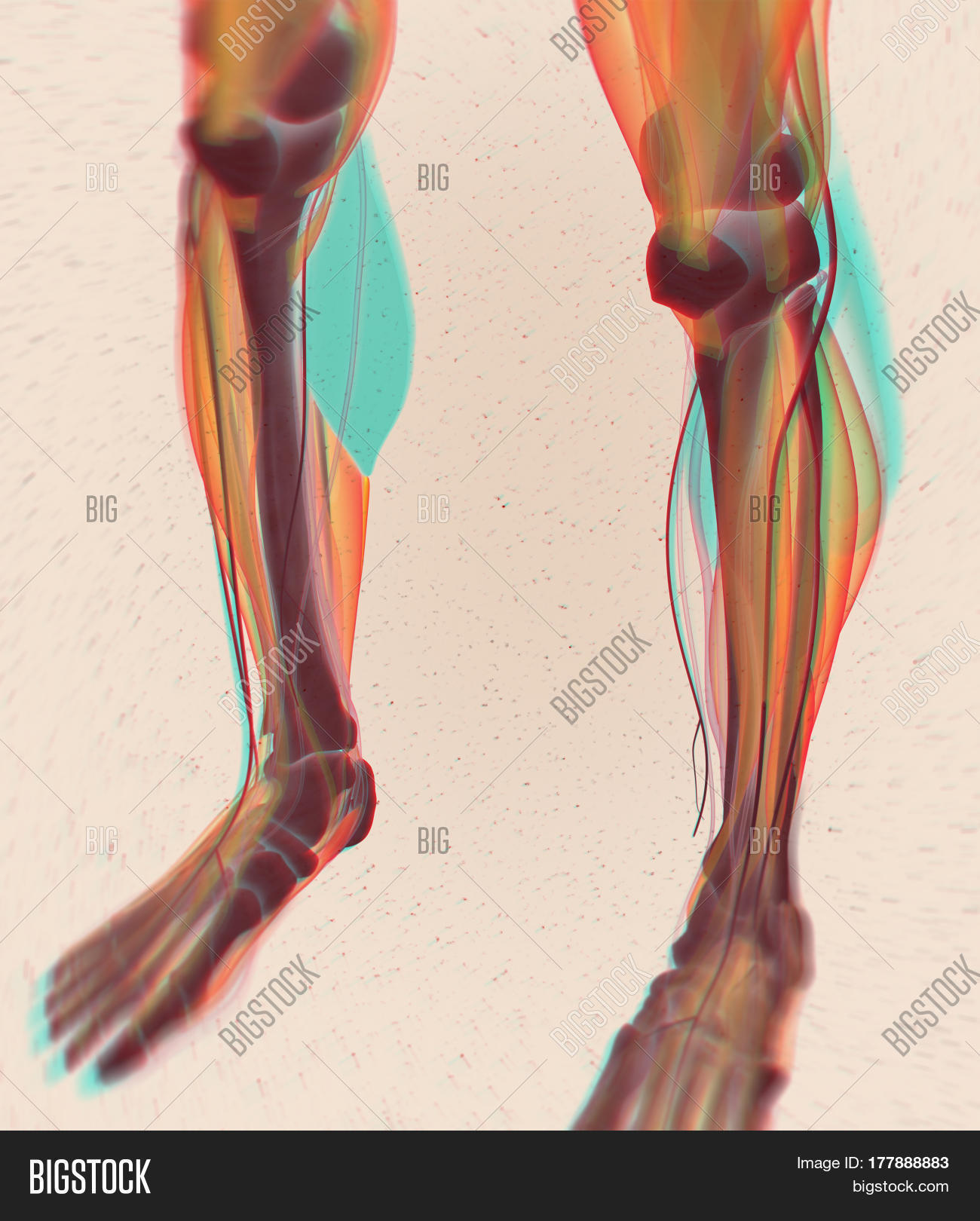 Calf Muscles Human Image Photo Free Trial Bigstock