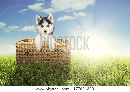 Portrait of a cute husky dog lying in the wicker basket while looking at the camera at the meadow shot in springtime