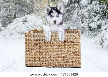 Picture of a cute husky dog lying in the wicker basket while looking at the camera at the forest shot in wintertime