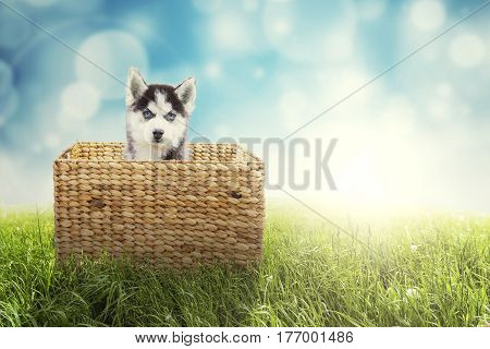 Portrait of cute husky dog sitting inside the wicker basket on the green grass shot with bokeh background