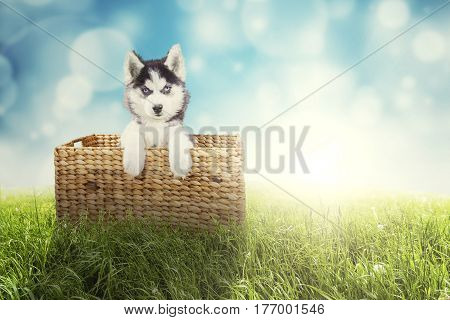 Portrait of a cute husky puppy lying in the wicker basket while looking at the camera with a blue light glitter in the background