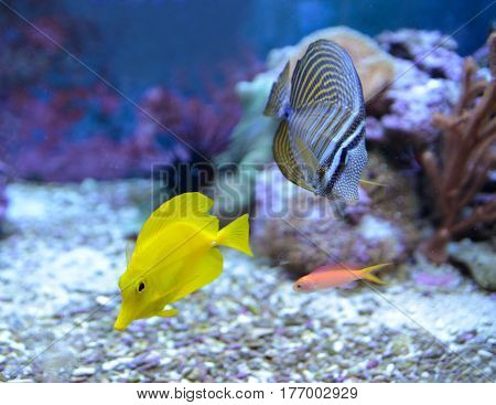 ebrasoma desjardini, Sailfin Tang. Reef tank, marine aquarium. Fragment of blue aquarium full of plants. A tank filled with water for keeping live underwater animals. Day view.