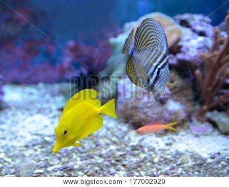 ebrasoma desjardini, Sailfin Tang. Reef tank, marine aquarium. Fragment of blue aquarium full of plants. A tank filled with water for keeping live underwater animals. Day view.