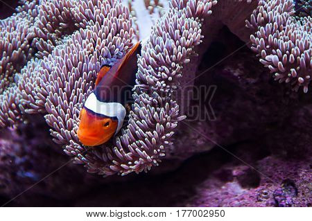 Clown fish swimming in the sea anemone