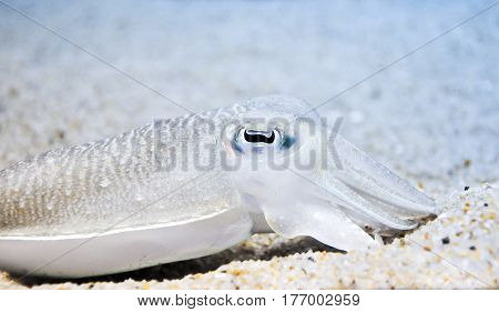 Closeup shot of commong cuttlefish hiding in the sand