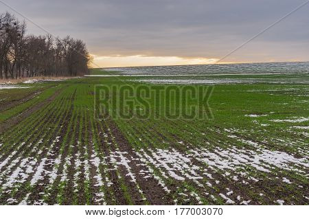 Agricultural field with rows of winter crops at autumnal season in Ukraine