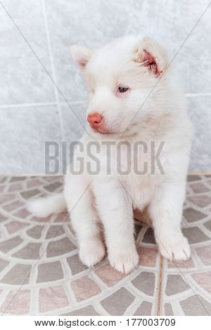 white cute puppy bangkeaw thai pedigree dog sitting on the floor