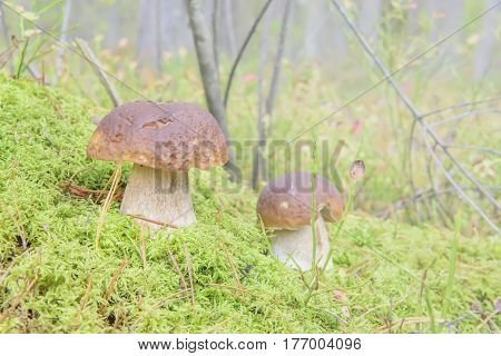 Edible Fungi Growing In The Wood (boletus). Nature Gifts.