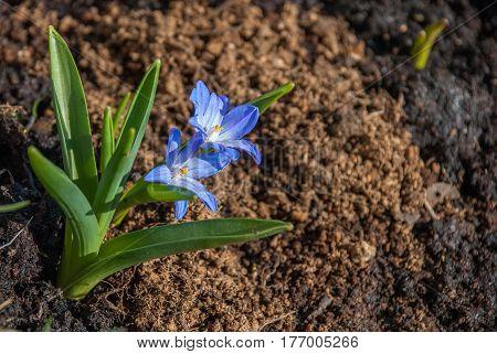 Flowering spring hyonodox flowers on the loosened ground