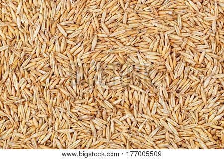 dry natural oat grains with husk as background, closeup shot. Heap of organic oat grains, healthy food and nutrition. Diet supplements