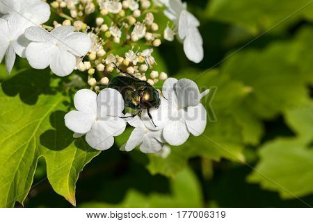 Flower Chafer (cetonia Aurata) On Flowering Spring Viburnum Opulus (guelder-rose)