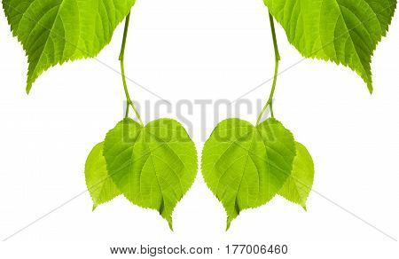 Frame of young spring tilia leaves. Isolated on white background with copy space.