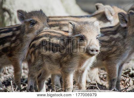 cute Little boar piglets in a wildpark