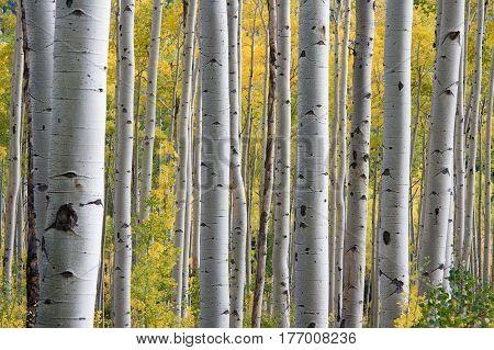 ein wald mit bäumen mit weißen Rand und grünen Blättern