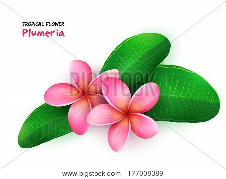 vector illustration of isolated realistic tropical blooming plumeria flower with leaves.
