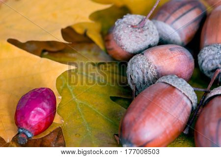 Heap of Brown Acorn and Briar Berry on Autumnal Oak and Maple Leaves Close Up