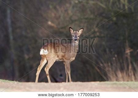 European roe deer in its natural habitat