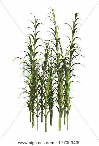 3D rendering of clumping bamboo plants isolated on white background