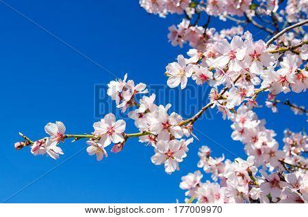 Beautiful blooming almond tree with flowers in full bloom in Santiago del Teide Tenerife Canarias IslandsSpain. Concept for Spring.