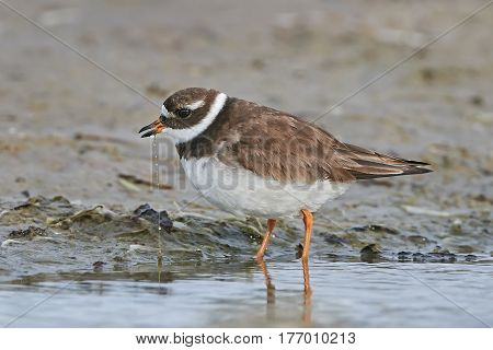 Common ringed plover looking for food in its habitat