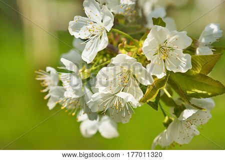 Blossoming twig of Cherry or bird Cherry (lat. Prunus avium) in spring garden. Flowers closeup