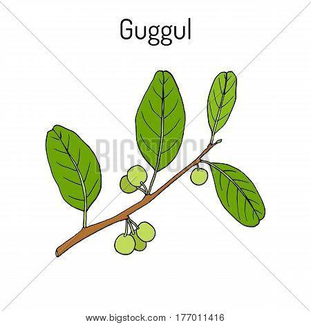 Best Ayurvedic plant guggul Commiphora wightii or Indian bdellium-tree Mukul myrrh tree. Hand drawn botanical vector illustration
